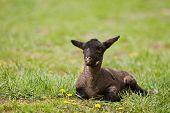 A newborn black lamb resting alone in the grass(focus on head) poster