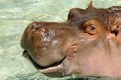 A hippo with a smiling mouth poster