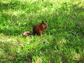 Squirrel having a lunch on the grass poster