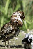 Male ruff (Calidris pugnax) in breeding plumage at a lek. Decorative wading bird displaying lekking behaviour in front of satellite male. poster