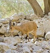 young nubian ibex starring at camera in Ein-Gedi Israel poster