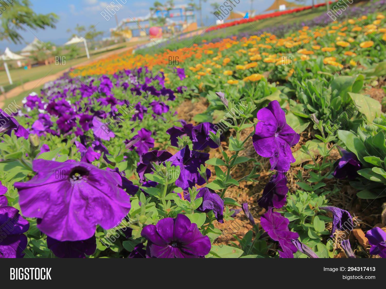Purple Petunias Image Photo Free Trial Bigstock