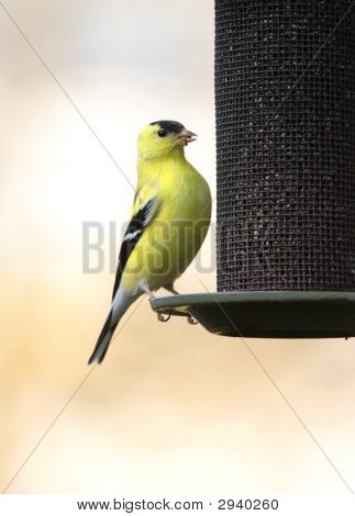 American Goldfinch (Carduelis Tristis) On A Thistle Feeder