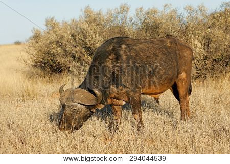 An African buffalo (Syncerus caffer) grazing in grassland, Mokala National park, South Africa