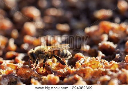 Macro Bees In A Beehive On Honeycomb