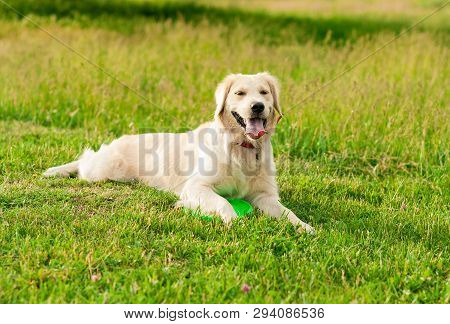 Obedient Golden Retriever Dog With His Owner Practicing Paw Command. Closeup Portrait Of White Retri