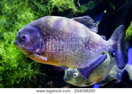 This Is A Close Up Of A Piranha