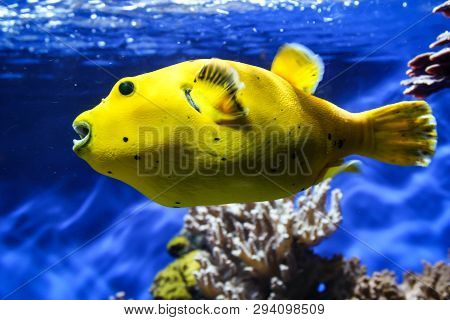 This Is A Close Up Of A Yellow Pufferfish In The Reef