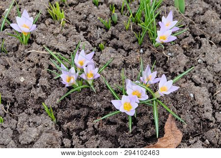 Saffron, Or Tomasini Crocus (crocus Tommasinianus) Blooming In Early Spring In A Flowerbed.