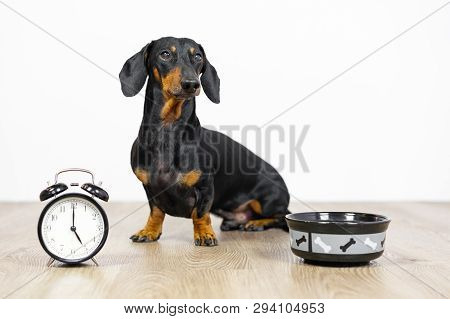 Black And Tan Dog Breed Dachshund Sit At The Floor With A Bowl And Alarm Clock, Cute Small Muzzle Lo