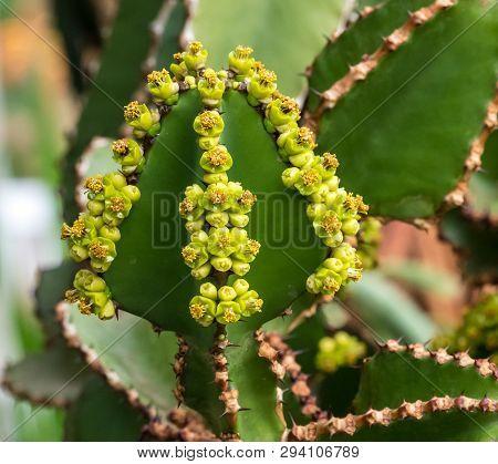 Close View Of Transvaal Candelabra Tree, Or Bushveld Candelabra Euphorbia