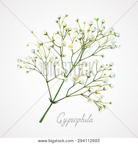 Branch Of The Gypsophila Flower On A Light Background. Tender, Fragile And Airy  White Small Flowers