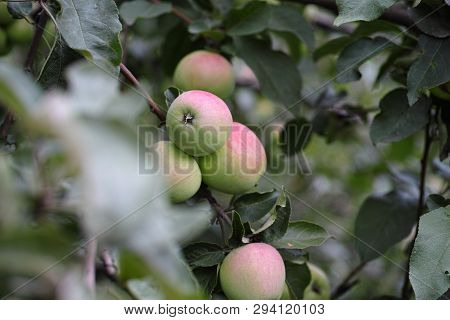 Branch Of Young Apples Outdoors. Close Up.