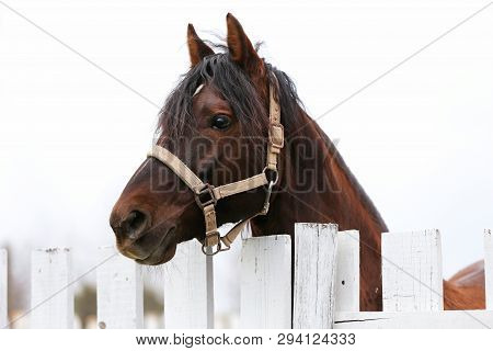 Young Beautiful Horse Posing For Camera. Portrait Of A Purebred Young Horse At Summer Corral. Closeu