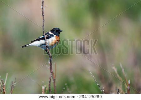 Male Europian Stonechat Or Saxicola Rubicola On Twig