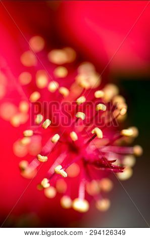 Macro Photography Of The Delicate Anthers Of A Hibiscus Flower. Captured At The Andean Mountains Of