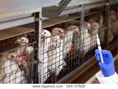 Doctor Holds A Syringe On The Background Of Broiler Chickens Concept Of Hormones And Antibiotics In