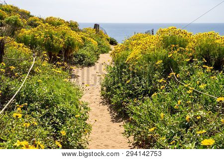 Point Dume In Malibu California Leads Up To A Bluff Overlook. Giant Coreopsis Wildflowers All Along