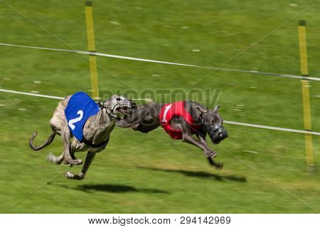 Greyhounds Racing. Wearing Numbers One And Two.