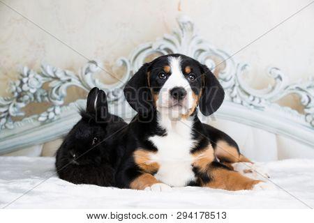 Entlebucher Mountain Dog puppy and rabbit