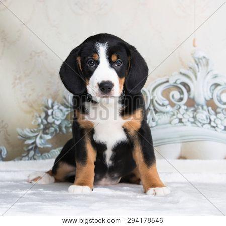 Entlebucher Mountain Dog puppy