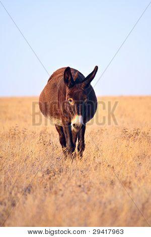 Donkey Walkning In The Field