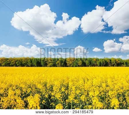Yellow canola field and blue sky on sunny day. Location rural place of Ukraine, Europe. Photo of ecology concept. Fresh seasonal background. Concept of agrarian industry. Discover the beauty of world.