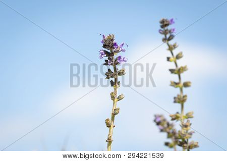 Beautiful Blue Flower, With The Sky In The Background Ajuga Reptans