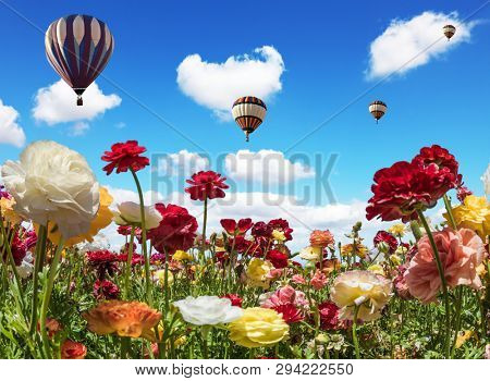 Balloons flies over the flower field. South of Israel. Farmer field of flowering ranunculus. Light clouds in the blue sky. Early spring in Israel. The concept of active, rural and ecotourism poster