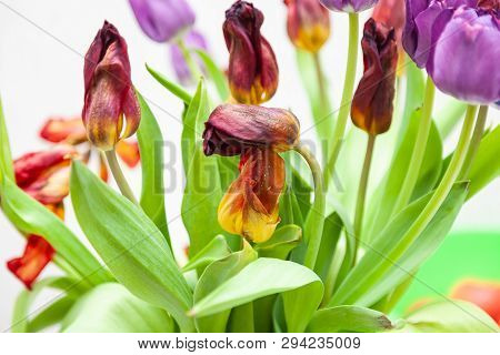 A bouquet of wilted tulips close-up view of red and purple with green leaves on a white background. Large flower buds. poster