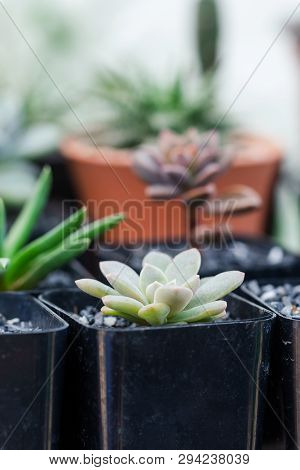 Close Up Image Of Echeveria Elegans Mexican Snowball Succulents