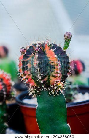 Close Up Colorful Gymnocalycium Mihanovichii Variegata Cactus