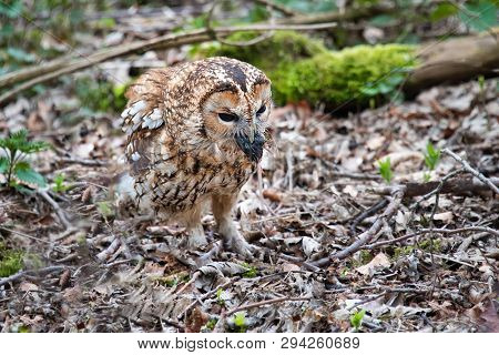 A tawny owl, Strix aluco, standing on the leaf covered ground of a wood with a mouse in its beak feeding poster