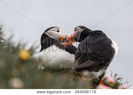 Couple Of Icelandic Puffins Kissing, Latrabjarg Cliffs, Westfjords, Iceland