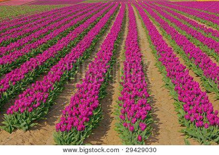 Tulips on a field