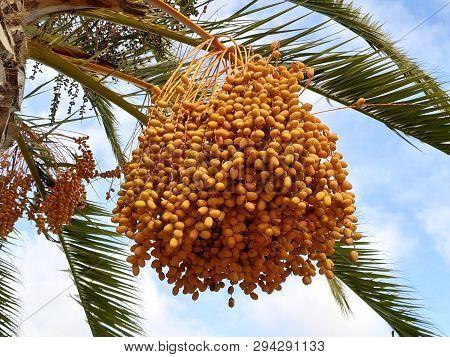 Frutas Amarillas Maduras En La Palmera Datilera En España.
