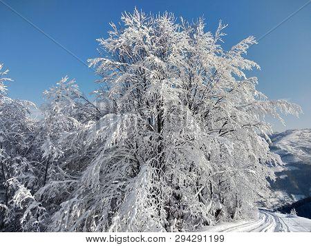 Ramas De Los árboles Cargados Con Nieve En Rumania, Pueblo De Parva, Transilvania
