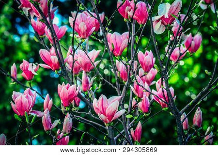 Magnolia Tree Flowers Blossoming, Springtime. Abstract Floral Delicate Pink Backdrop.