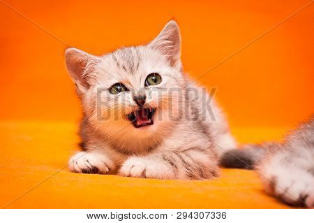 Gray white British kitten meows lying on an orange background and looks away poster