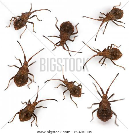 Composition of Dock bugs, Coreus marginatus, in front of white background