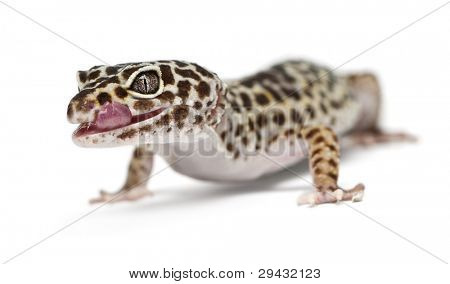 Leopard gecko, Eublepharis macularius, in front of white background