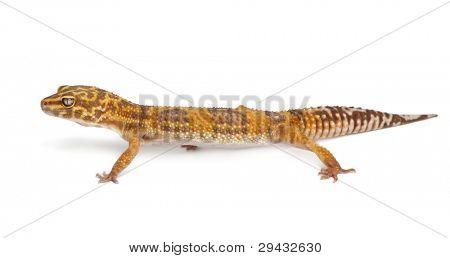Albino Orange Leopard gecko, Eublepharis macularius, in front of white background
