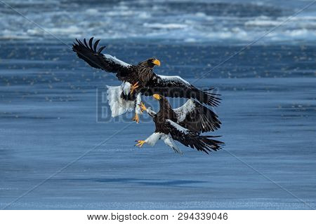 Two Steller's sea eagles fighting over fish, Hokkaido, Japan, majestic sea raptors with big claws and beaks, wildlife scene from nature,birding adventure in Asia,clean background,birds in fight poster
