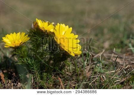 Closeup Of Pheasants Eye Flowers (adonis Vernalis) In Springtime (hainburg, Austria)