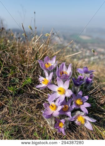 Closeup Of A Wild Pasque Flower (pulsatilla Vernalis) In Springtime Austria