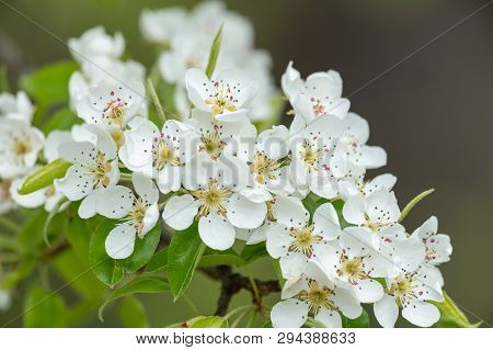 Closeup Of White Pear Blossoms (pyrus Communis), Sunlight In The Morning