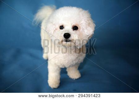 Bichon Frise dog. A small female bichon frise dog portrait on a blue seamless background. Mans best friend is a dog.