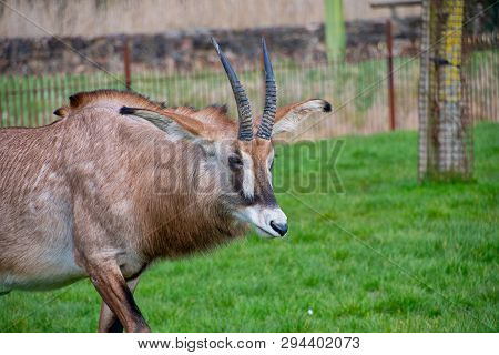 Roan Antelope Looking Around At A Zoo