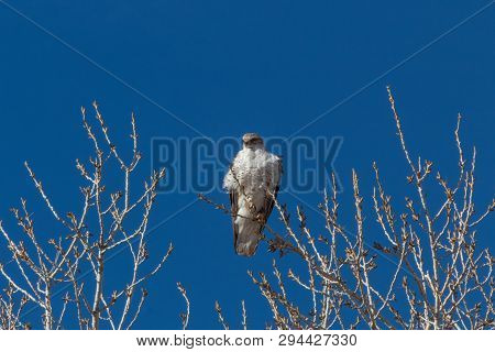 Bosque del Apache New Mexico, Ferruginous Hawk Buteo regalis on a bare cottonwood branch against a deep blue sky, horizontal aspect poster