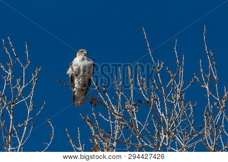 Bosque del Apache New Mexico, Ferruginous Hawk Buteo regalis, early sun against a vivid blue sky, horizontal aspect poster